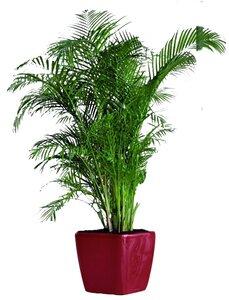 5-7 Ft. Plant rental New Orleans, LA