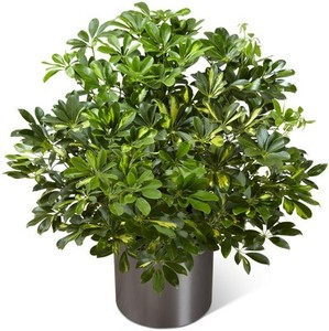1-3 Ft. Plant rental Austin, TX