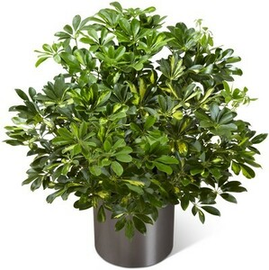 1-3 Ft. Plant rental San Antonio, TX