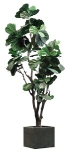 Fiddle Fig - Artificial rental Dallas-Ft. Worth, TX